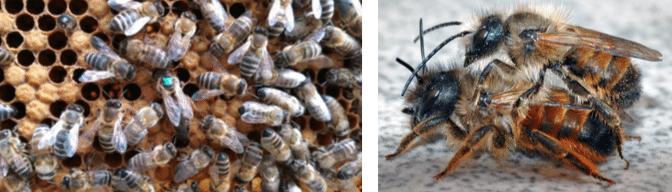 Arbeiterinnen Honigbiene Königin